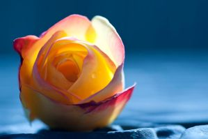 Early morning rose by pqphotography