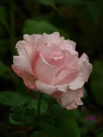 Pink Rose by botanystock