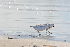 Sanderling by clippercarrillo