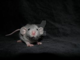 Nameless rat baby by Itchys-rats