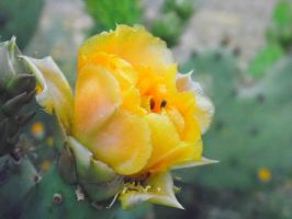 Yellow Cactus Flower by TheGerm84