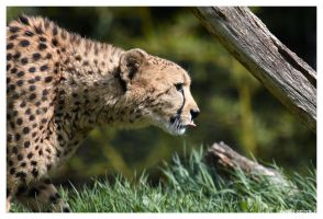 Cheetah 2 by OrcOPhoto