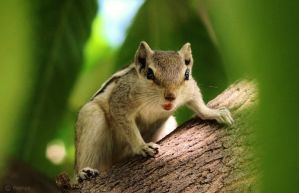 Indian Palm Squirrel by Prabhjot-Singh
