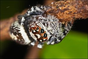 macro jumping spider by m0rph