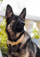 German Shepherd Close-up Portrait I by OrangeRoom