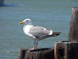 Seagull by mrstupes
