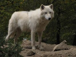 North American Arctic Wolf 21 by animalphotos