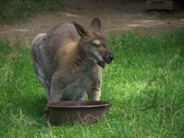 Wallaby Eating by hieiluva89