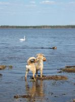 Our dogs with wild swan by Garbuend