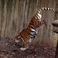 Amur Tiger Stock 20: Jumping by HOTNStock