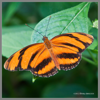 Orange Butterfly by Mogrianne