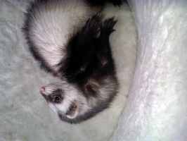 Ferret Stock 7 by Dingelientje-stock