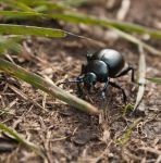 Bloody Nosed Beetle by Xs9nake