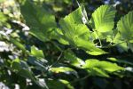 Sunlit leaves by loobyloukitty