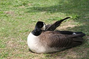 Canadian Goose 2 by Frostdragon64