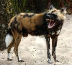 Wild animal 315 - angry african wild dog by Momotte2stocks