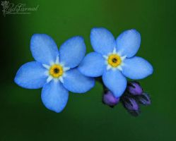 Forget Me Not by LadyCarnal