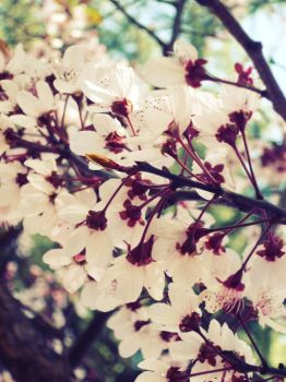 Plum blossoms by LadyFianna
