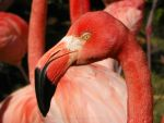 Caribbean Flamingo by DingoDogPhotography
