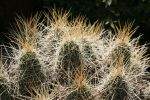 Cactus spines 2 by texasphotog