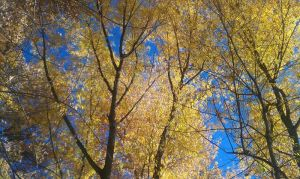 Yellow Leaves Beneath a Blue Autmn Sky by ReinaLaura
