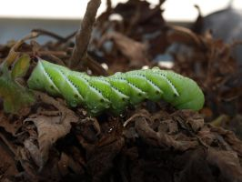 Tobacco hornworm 5 by photographyflower
