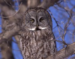 Great Grey Owl by dove-51