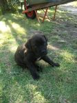 Bandog Puppy 2 by Ectera
