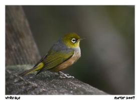 New Zealand Waxeye II by carterr