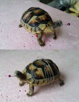 WIP Small tortoise by DeerfishTaxidermy