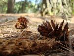 Conifer Cones by SuperMetroid2