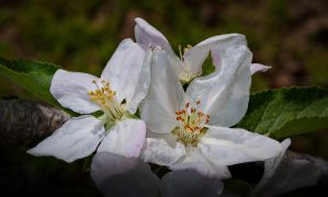Apple Blossom Time by drhine