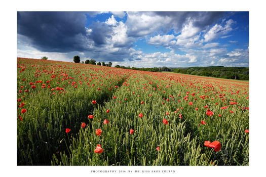 The poppies of Mernye - V by DimensionSeven