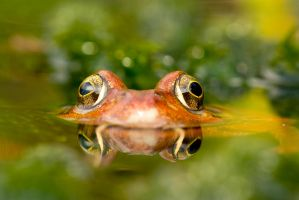 Submerged frog by AngiWallace