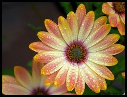 African Daisy by yelth