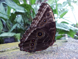 Niagara Butterfly House - Blue Morpho Butterfly by Ammoniite