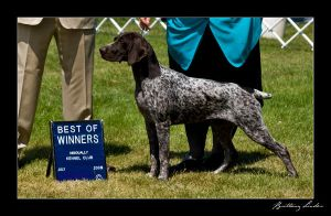 German Shorthaired Pointer by StrictlyCanine-SI
