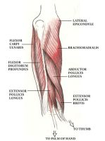 Anatomy - Forearm muscles by Rankenphile