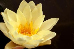 Yellow Water Lily by sevymama