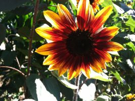 Sunflower 4 by WillowTreeWitch