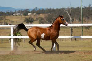 GE arab pinto trot to canter about to turn side by Chunga-Stock