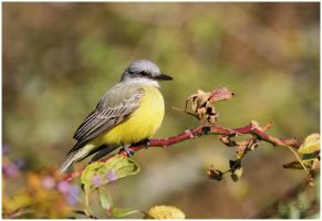 Tropical Kingbird by Ryser915