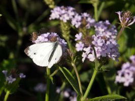 Cabbage white butterfly by Musterkatze