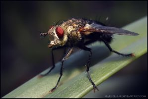 Giant Fly by Marcel-RN