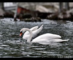 Two Swans by Carnaga