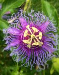 Photography: Flower 14 (Passion Flower) by vt2000