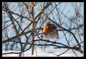 Winter - European robin by Rajmund67