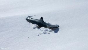 Snowshark by BombshellBoy