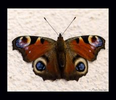 Peacock (Inachis io) by Phototubby