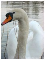 swan 05 by schnegge1984